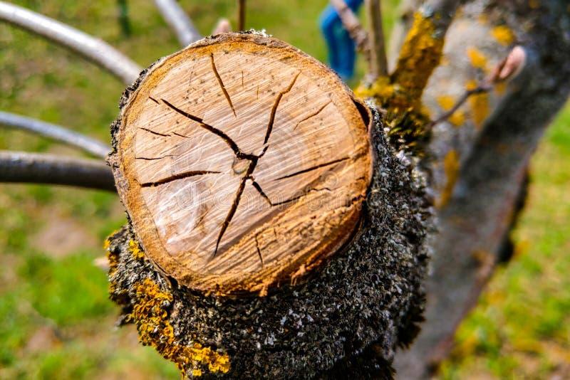 Vista del corte del árbol, primer de la grieta, fondo de la naturaleza fotos de archivo