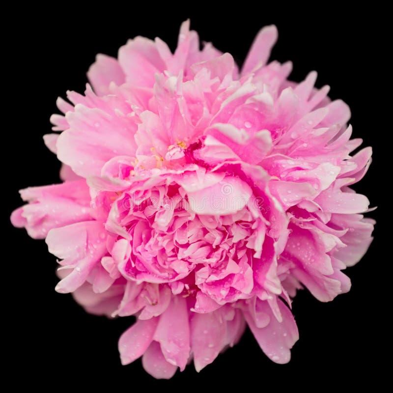Vista del fiore della peonia macro isolata sul nero fotografia stock libera da diritti