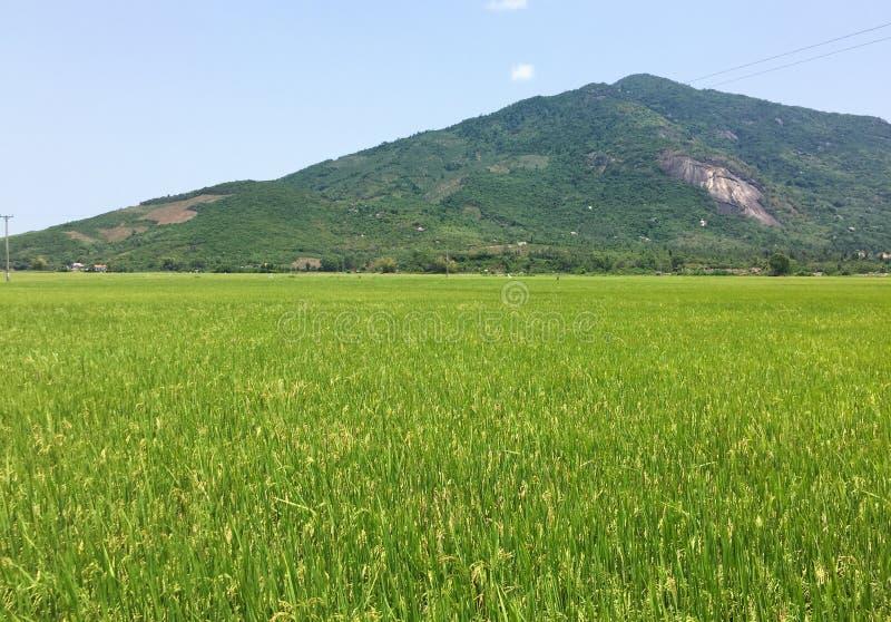 Vista del giacimento del riso con la montagna in Phu Yen, Vietnam immagine stock libera da diritti