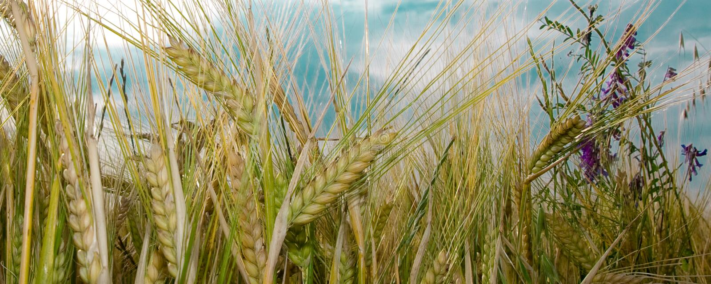 Vista del giacimento e dei fiori di grano fotografia stock