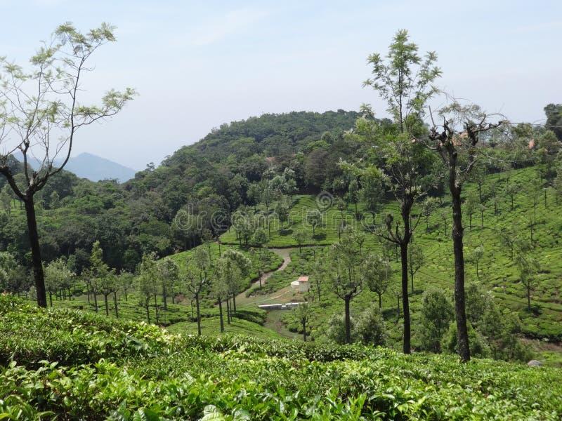 Vista del giardino di tè di ooty, India fotografia stock libera da diritti