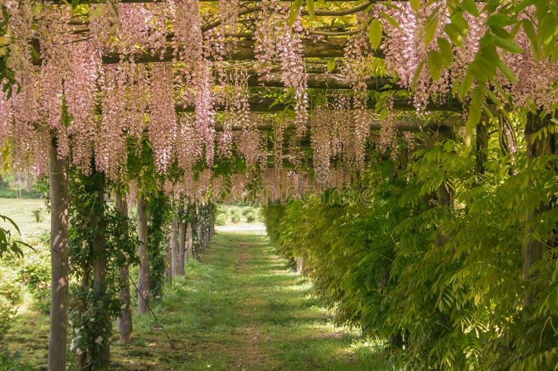 Vista del giardino romantico e idilliaco con il tunnel rosa di glicine immagini stock libere da diritti