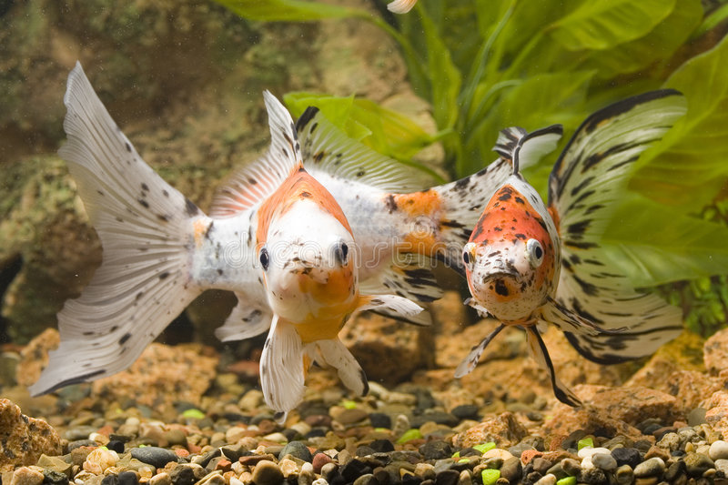 Vista del Goldfish fotos de archivo