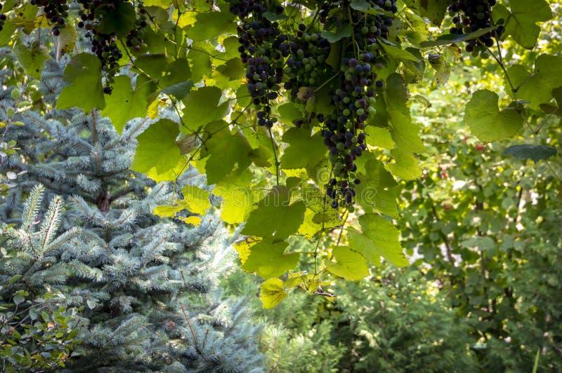 Vista del jardín del cenador de uva A la izquierda es la picea azul, en la distancia allí es arbustos verdes de la fruta fotos de archivo libres de regalías