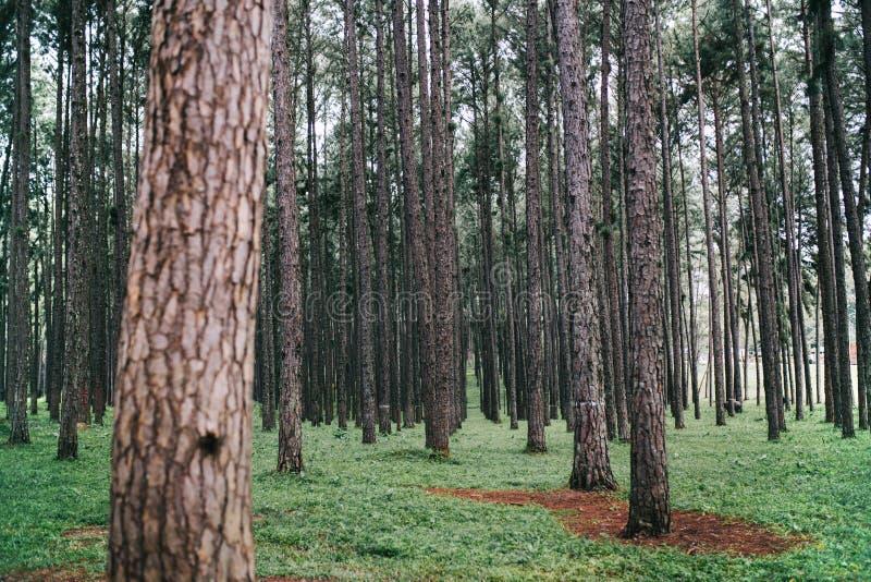 Vista del paesaggio dei pini nel parco naturale immagine stock