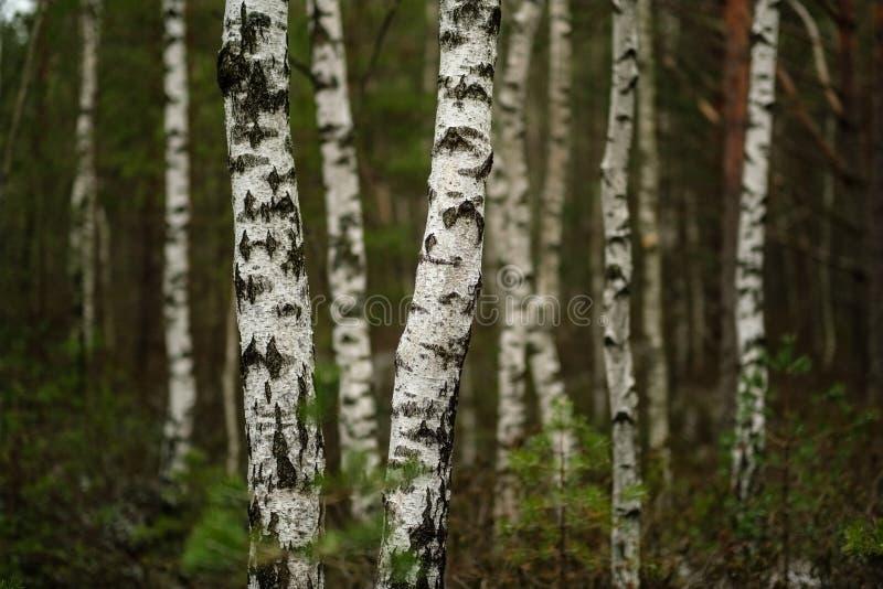 vista del paesaggio della palude con gli alberi distanti asciutti e la prima neve fotografia stock libera da diritti