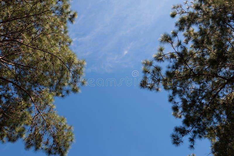 Vista del pino con il fondo della nuvola e del cielo blu, cercante vista fotografia stock libera da diritti
