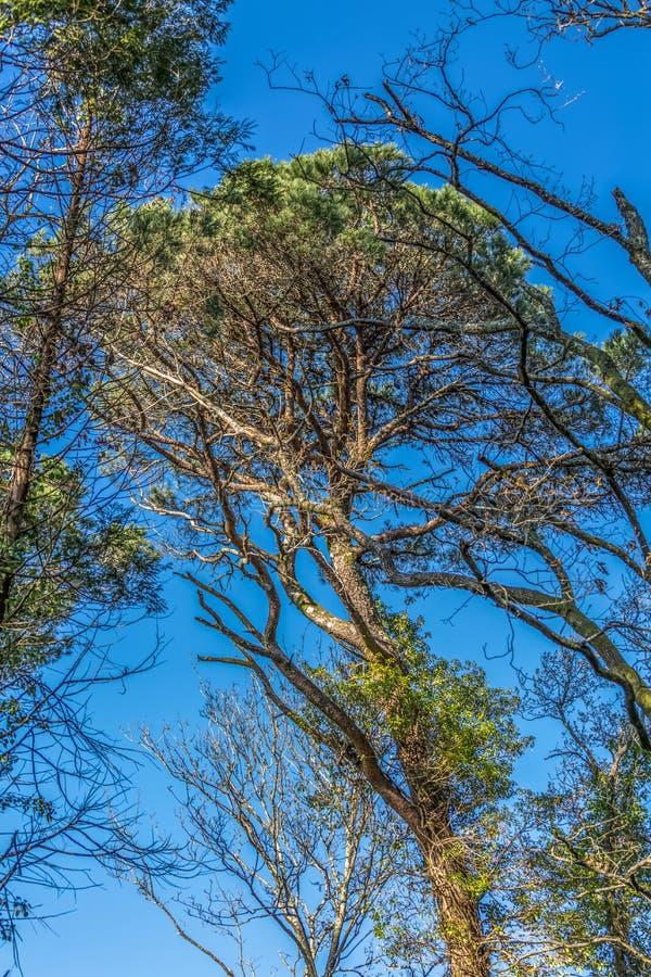 Vista del pino y de robles gigantes en el bosque, cielo azul como fondo imagen de archivo