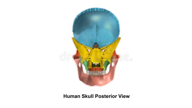 Vista del posteriore del cranio fotografie stock