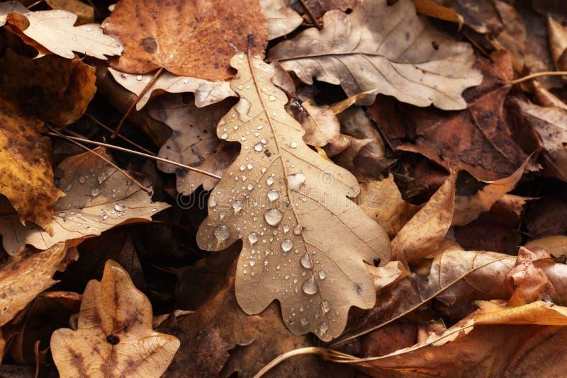 Vista del primo piano alle foglie di autunno asciutte con le gocce di acqua immagine stock libera da diritti