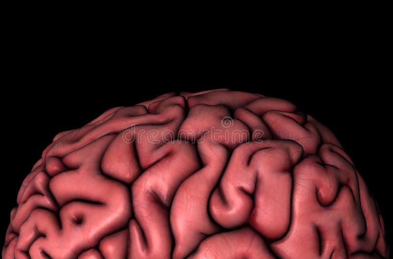 Vista del primo piano dei gyri del cervello umano illustrazione di stock