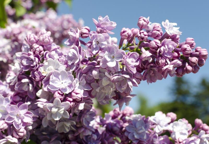 Vista del primo piano dell'inflorescenza lilla viola del fiore fotografia stock