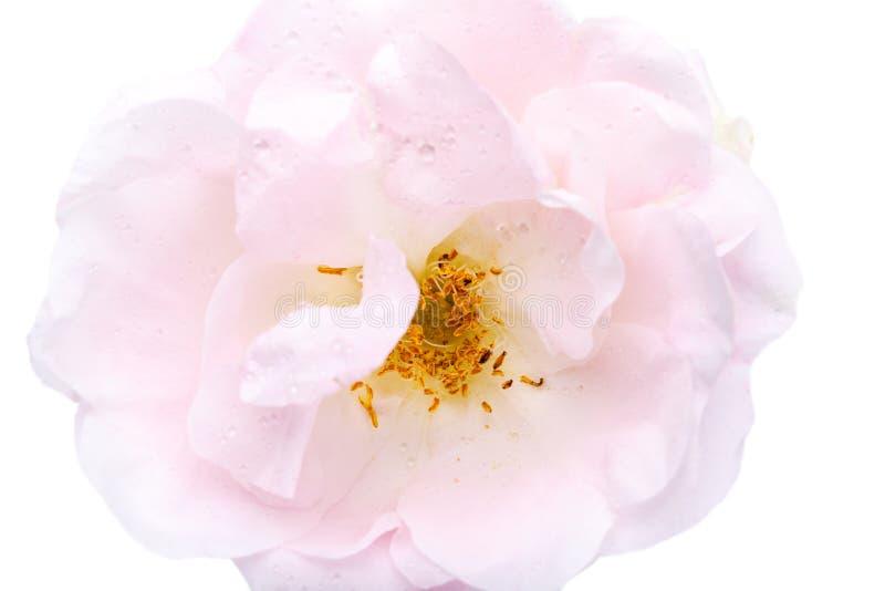 Vista del primo piano di bello fiore rosa rosa fotografia stock