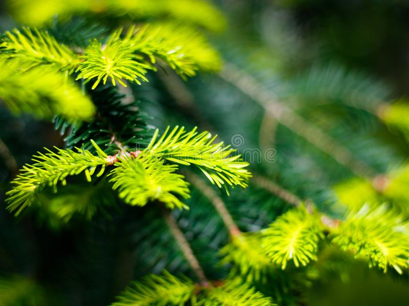Vista del primo piano di recente di verde, giovani aghi del pino immagine stock