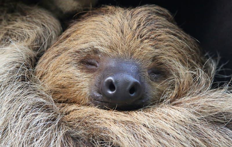 Vista del primo piano di un bradipo Due-piantato immagine stock libera da diritti
