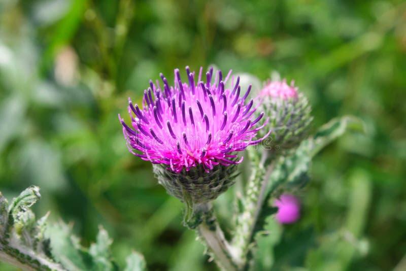 Vista del primo piano di un fiore del cardo selvatico su un fondo verde fotografia stock libera da diritti