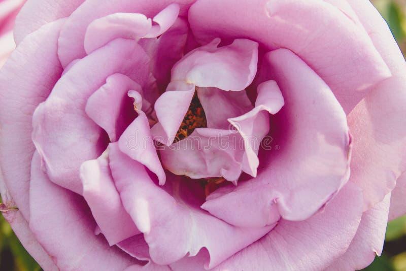 Vista del primo piano di un telaio completo della rosa fotografia stock