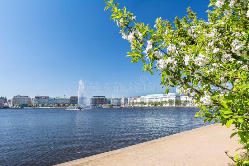Vista del río de Alster en Hamburgo con el arbusto de florecimiento en el primero plano fotos de archivo
