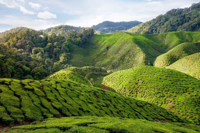 Vista del valle con las plantaciones de té en Cameron Highlands imagen de archivo libre de regalías