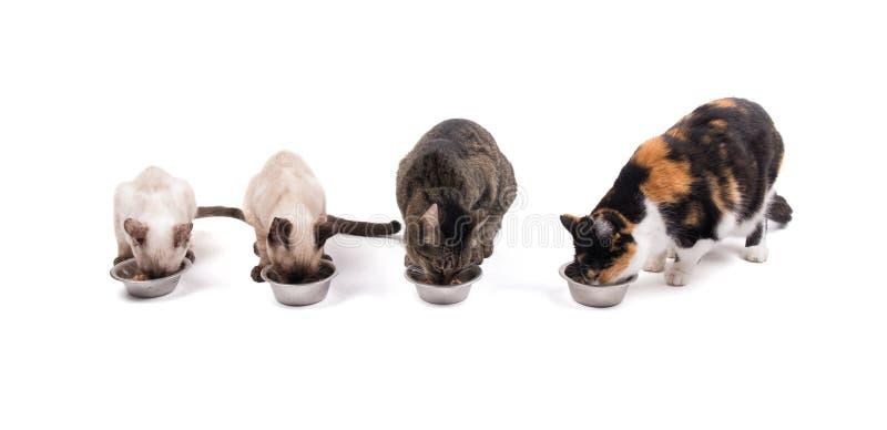 Vista delantera de dos gatitos y de dos gatos adultos que comen su cena imagen de archivo libre de regalías