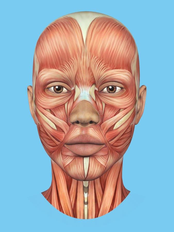 Vista delantera de la anatomía de los músculos importantes de la cara de una mujer ilustración del vector