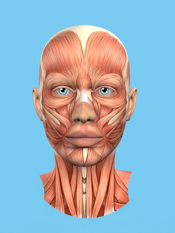 Vista delantera de la anatomía de los músculos importantes de la cara de una mujer incluyendo las RRPP stock de ilustración
