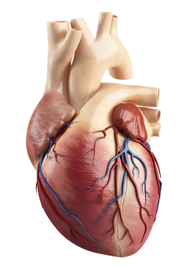 Vista delantera de la anatomía del struct del interior del corazón ilustración del vector