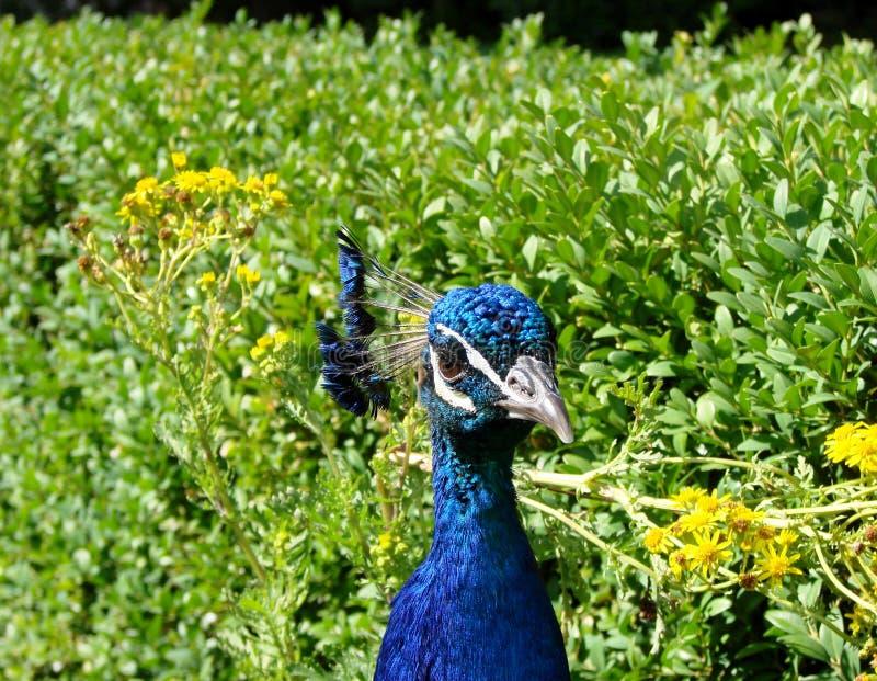 Vista delantera de la cabeza y del cuello del ` s del pavo real imágenes de archivo libres de regalías