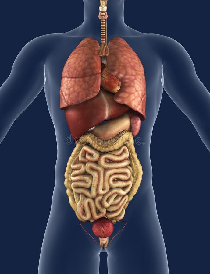 Vista delantera de los órganos internos ilustración del vector