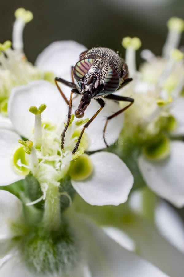 Vista delantera de una mosca de la flor imagen de archivo libre de regalías