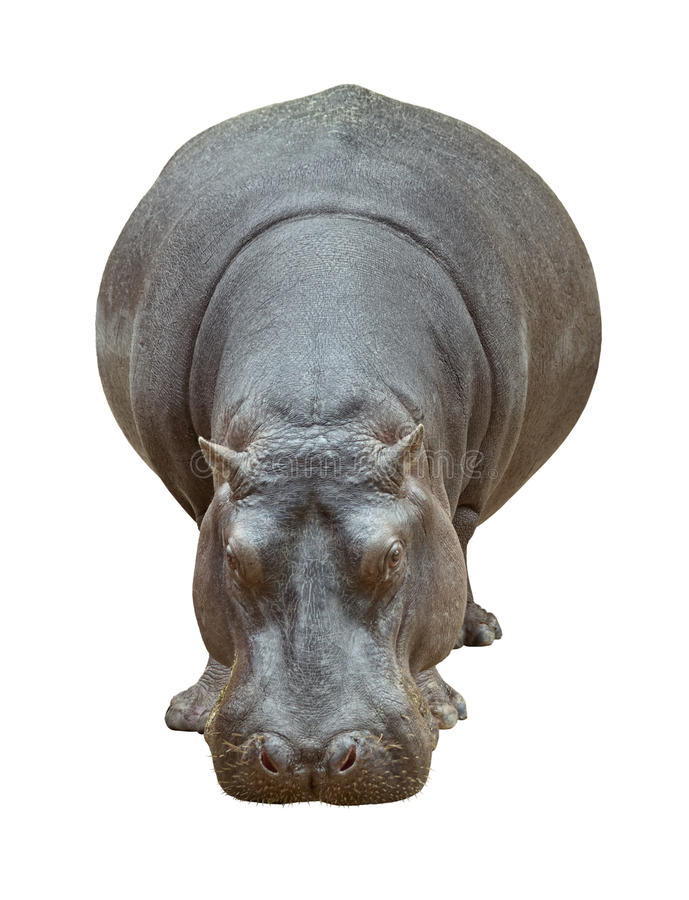 Vista delantera del Hippopotamus fotografía de archivo