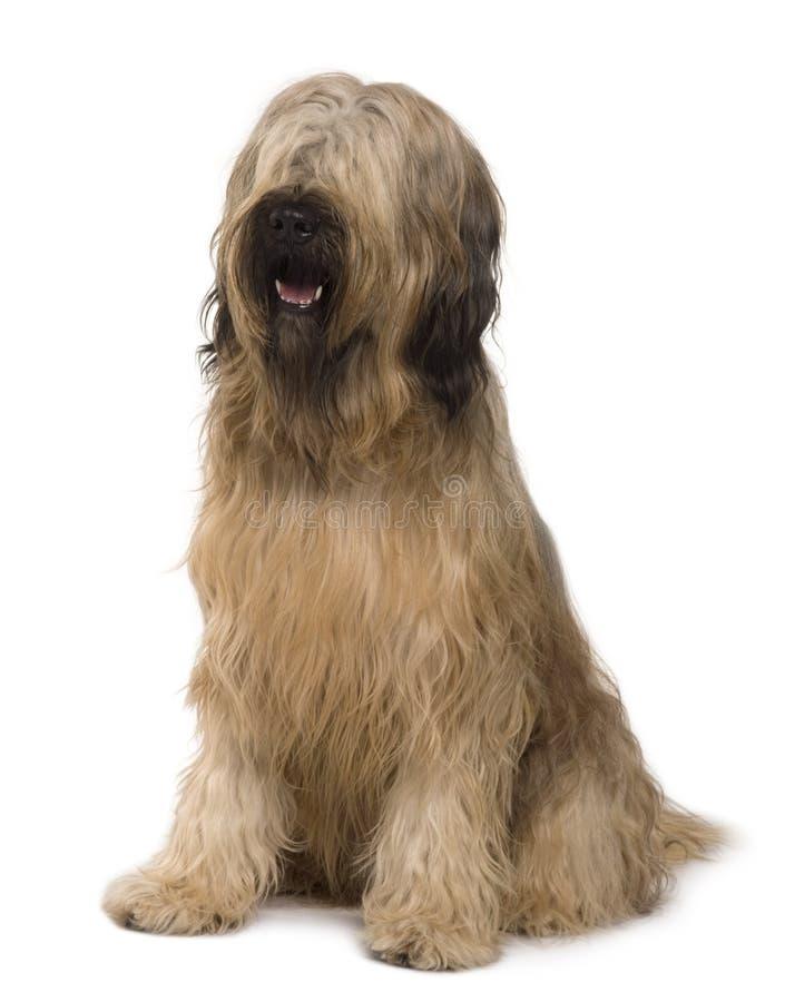 Vista delantera del perro de Briard, sentándose imágenes de archivo libres de regalías