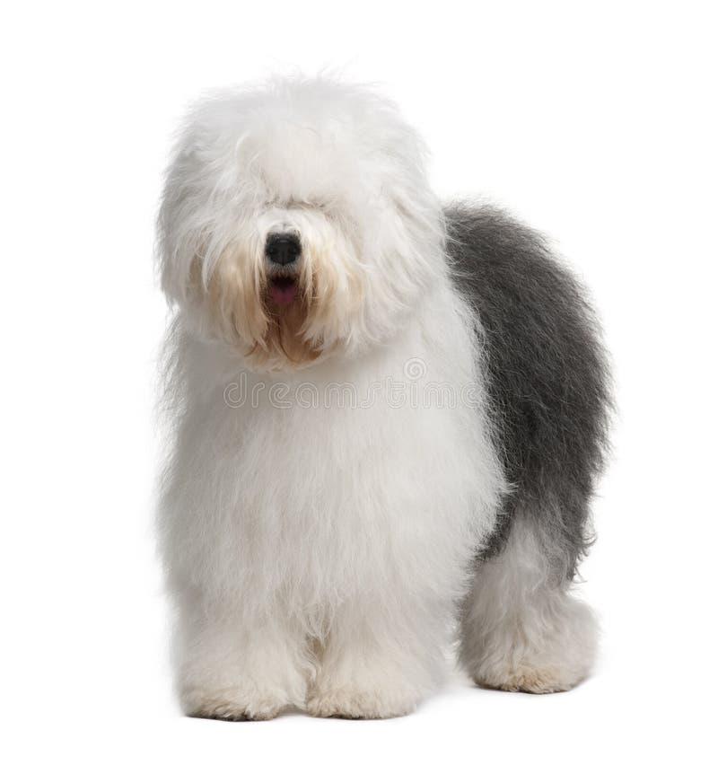 Vista delantera del perro pastor inglés viejo, colocándose imagenes de archivo