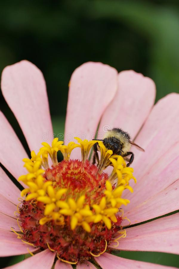 Vista delantera del primer de un serrisq gris caucásico del Bombus del abejorro fotografía de archivo