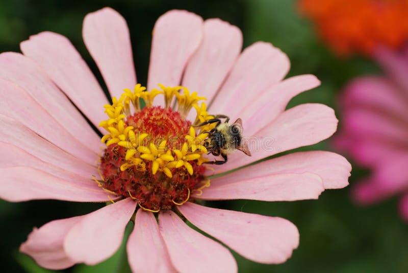 Vista delantera del primer del serrisquama caucásico del Bombus del abejorro encendido foto de archivo libre de regalías