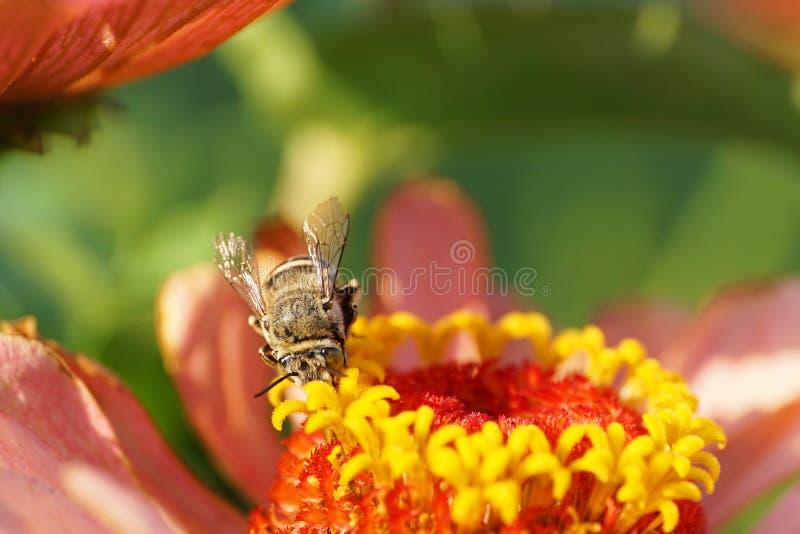 Vista delantera macra del albigena gris rayado caucásico de Amegilla de la abeja fotos de archivo libres de regalías