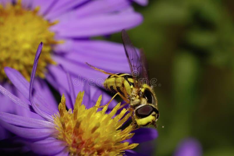 Vista delantera macra hoverfly rayada de una a negra y amarilla grande imágenes de archivo libres de regalías