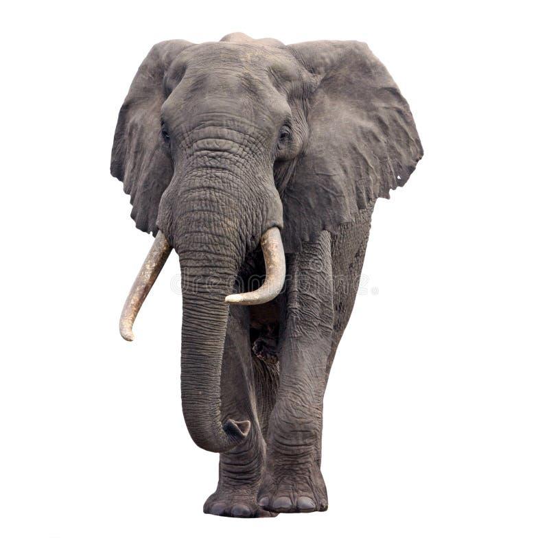 Vista Delantera Que Recorre Del Elefante Imagenes de archivo