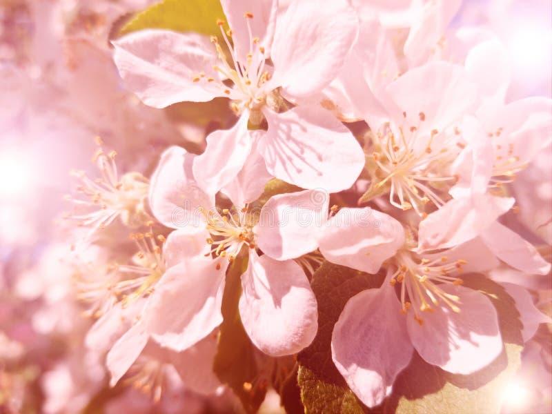 Vista della cartolina di un ciliegio di fioritura nei raggi del sole giallo I fiori sono Bush bianco rosa nel trattamento giallo immagine stock