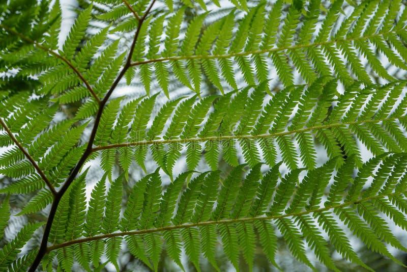 Vista della felce di albero australiana, cyatheaceae di cooperi del Cyathea, progettazione completa del fondo della struttura fotografia stock