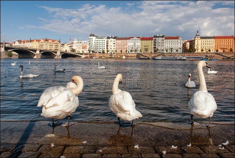 Vista della Moldava Cigni a Praga immagine stock libera da diritti