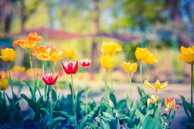 Vista della natura del parco con i tulipani ed erba verde ed alberi vaghi immagini stock