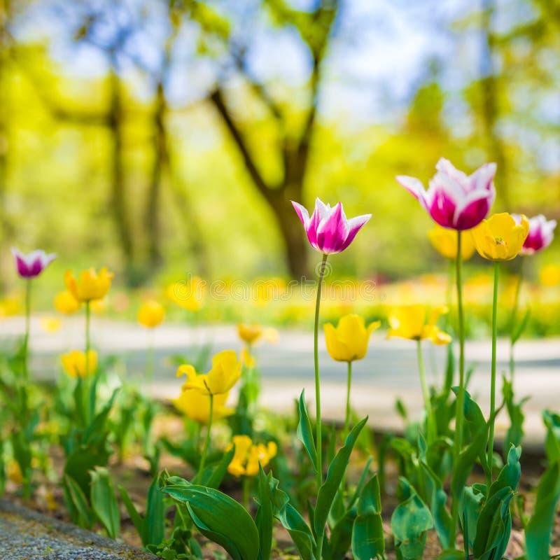 Vista della natura del parco con i tulipani ed erba verde ed alberi vaghi fotografia stock libera da diritti