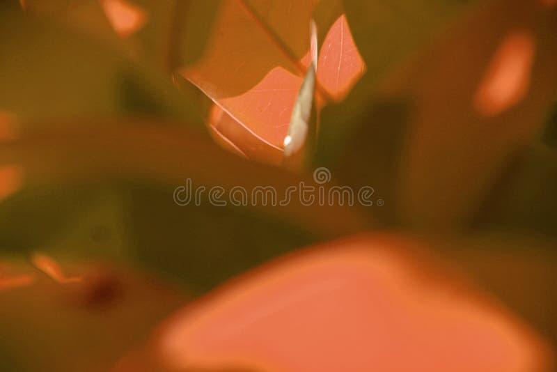 Vista della natura del primo piano della foglia rosa immagine stock