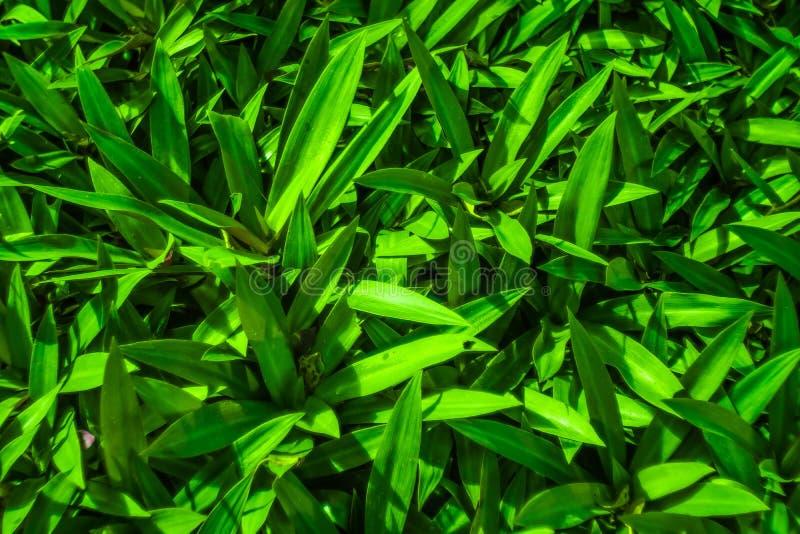 Vista della natura del primo piano della foglia verde in giardino Foglia del giglio della barca fotografia stock libera da diritti