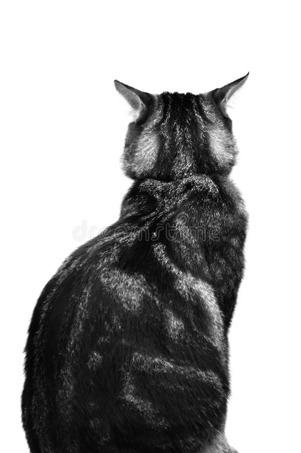 Vista della parte posteriore di gatto immagine stock libera da diritti