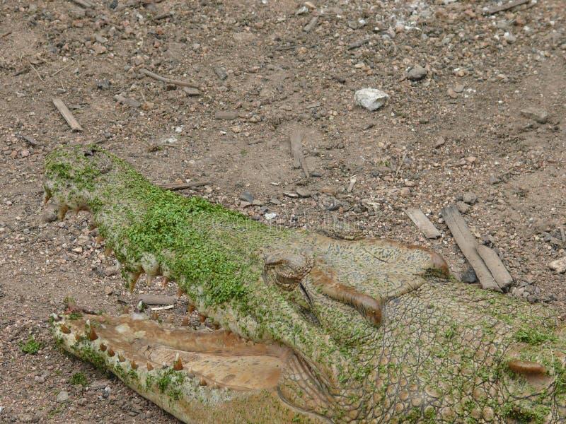 Vista della testa di un coccodrillo con la bocca aperta, visibile parziali nel palato e nei denti più bassi fotografia stock