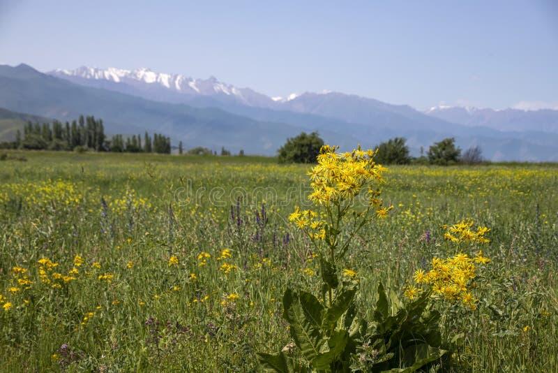 Vista delle montagne di Tien Shan centrale nel Kirghizistan con i fiori gialli di fioritura fotografia stock