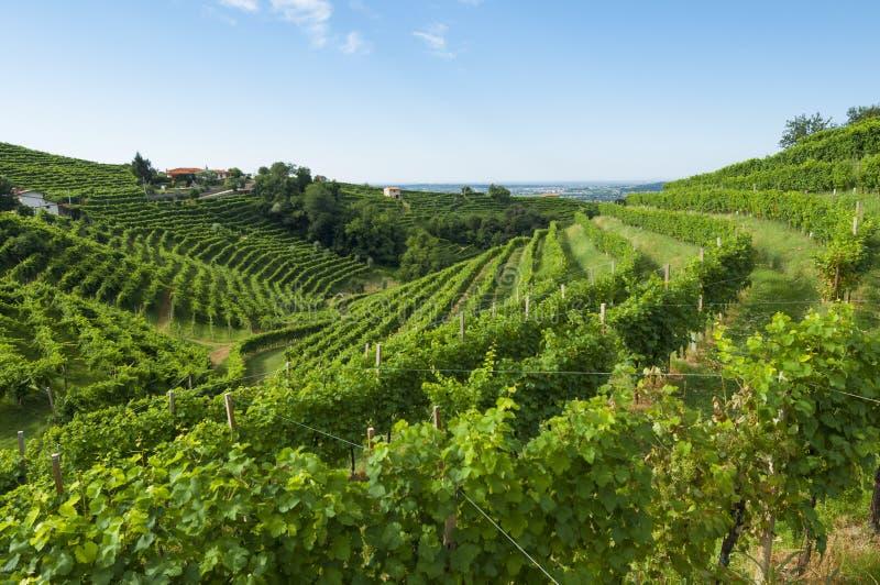 Vista delle vigne di Prosecco da Valdobbiadene, Italia durante il riassunto fotografie stock libere da diritti