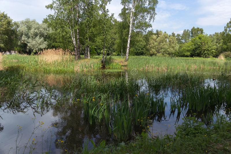 Vista dello stagno pittoresco con i gigli gialli e le anatre di galleggiamento nel parco della citt? L'inizio dell'estate fotografia stock libera da diritti